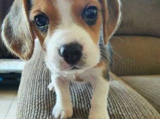 Lulu Beagle puppies