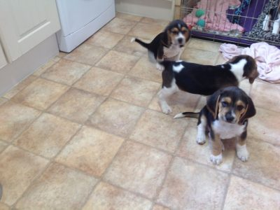 Beagle puppies ready for new homes