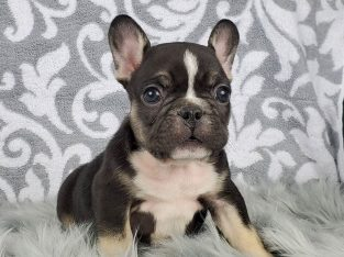 Purebred French Bulldog puppies .