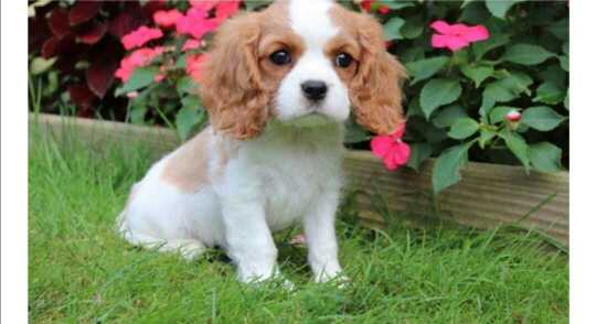 lovely king Charles puppies for sale