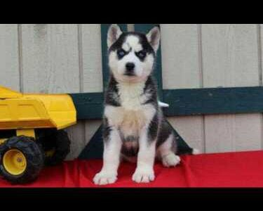 blue eyes husky puppies ready now