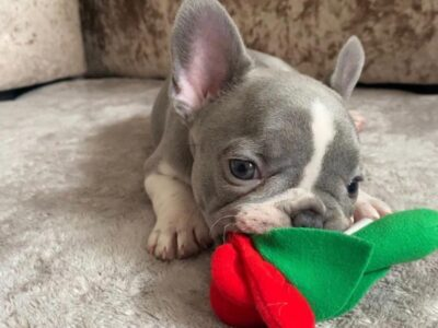 Amazine french Bulldogs available